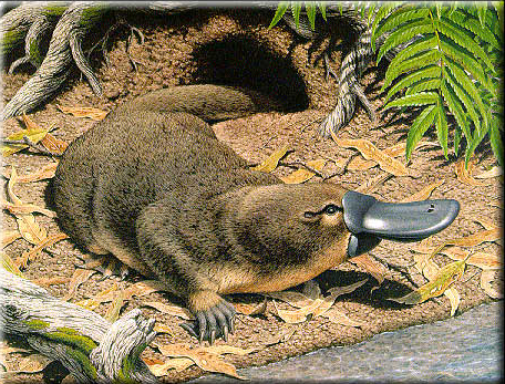 A semiaquatic mammal endemic to eastern Australia, including Tasmania. Together with the four species of echidna, it is one of the five extant species of monotremes, the only mammals that lay eggs instead of giving birth.